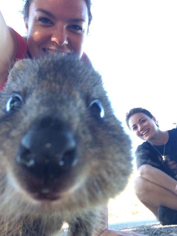 Tirar selfies com Quokkas é a nova moda na Austrália (11)