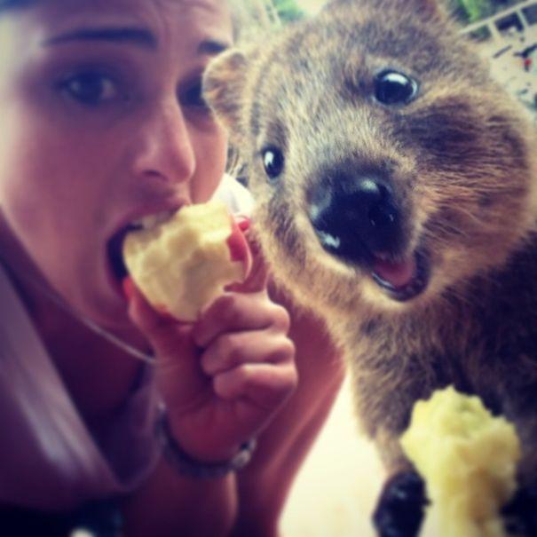 Tirar selfies com Quokkas é a nova moda na Austrália (15)