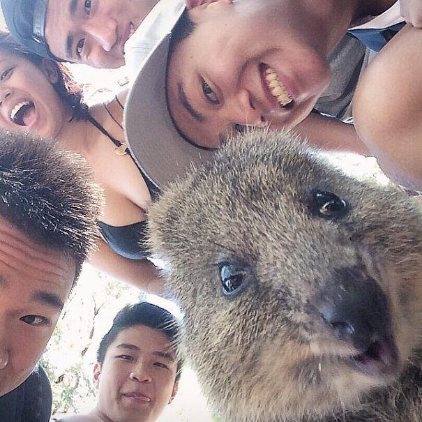 Tirar selfies com Quokkas é a nova moda na Austrália (21)