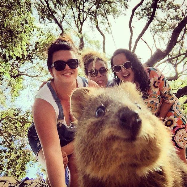Tirar selfies com Quokkas é a nova moda na Austrália (22)