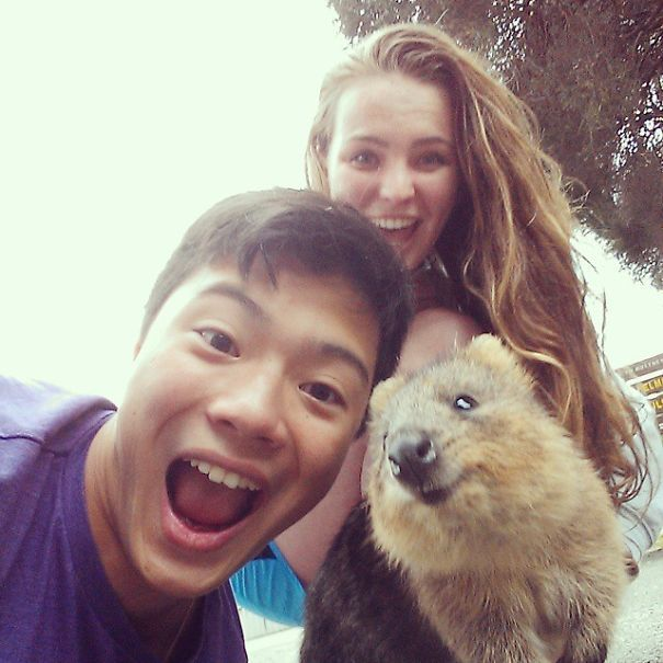 Tirar selfies com Quokkas é a nova moda na Austrália (5)