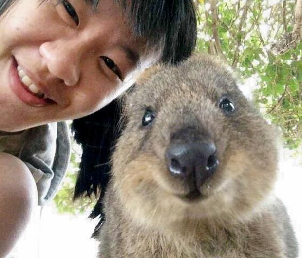 Tirar selfies com Quokkas é a nova moda na Austrália (6)