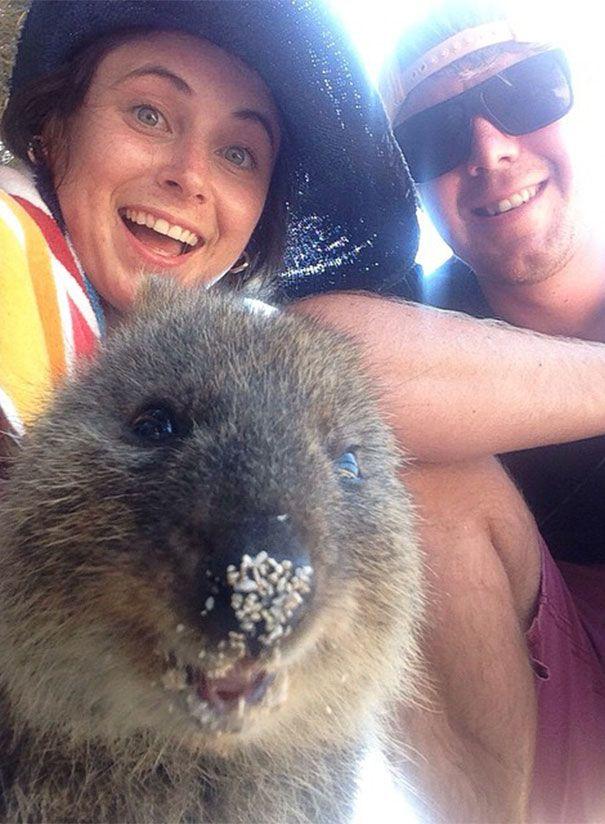 Tirar selfies com Quokkas é a nova moda na Austrália (7)