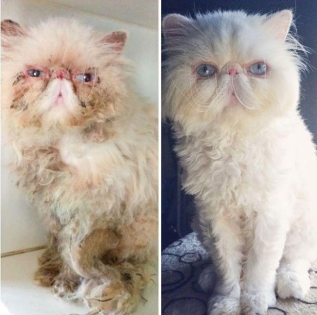 antes-e_depois_mostram_como_a_adoção_faz_bem_aos_gatos (12)