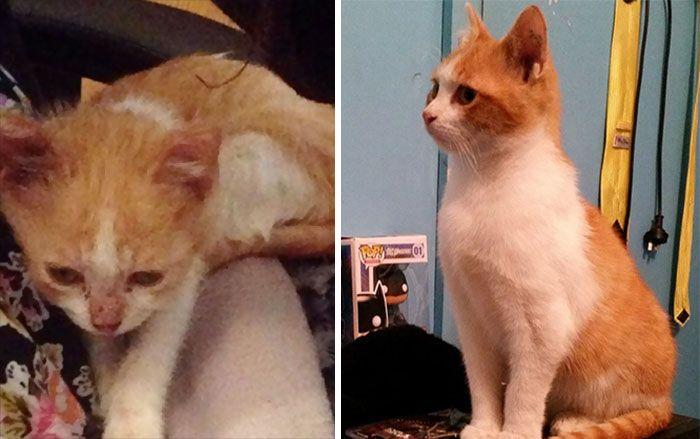 antes-e_depois_mostram_como_a_adoção_faz_bem_aos_gatos (4)