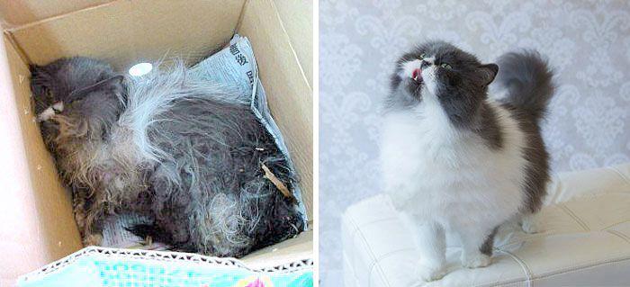 antes-e_depois_mostram_como_a_adoção_faz_bem_aos_gatos (6)
