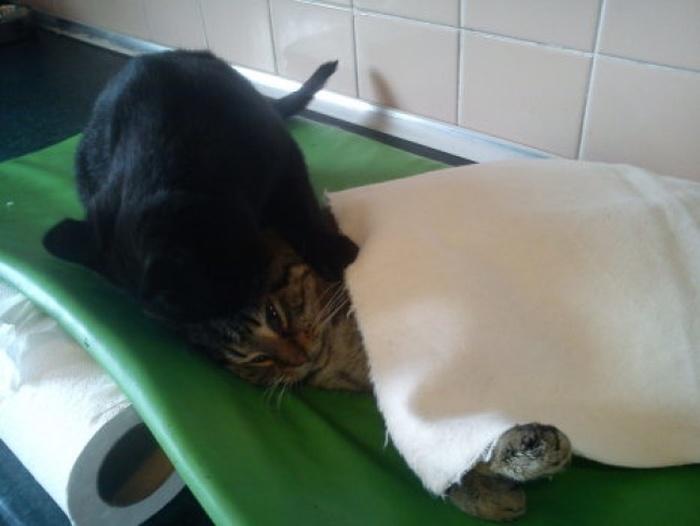 Conheça_o_gato_que_pensa_que_é_um_enfermeiro (5)