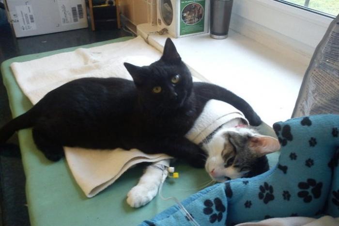 Conheça o gato que pensa que é um enfermeiro