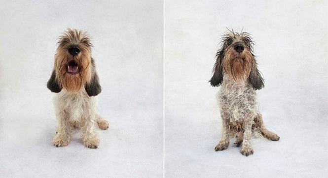 Fotos-divertidas-de-cachorros-antes-e-depois-do-banho (10)