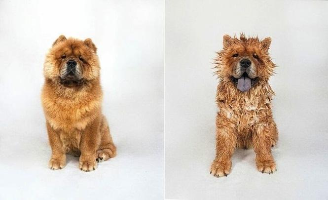 Fotos-divertidas-de-cachorros-antes-e-depois-do-banho (6)