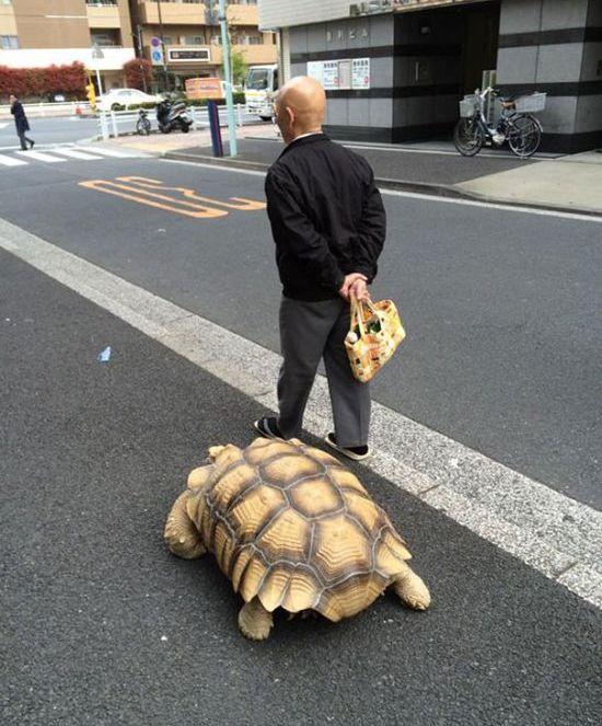 Tartaruga gigante de estimação andando pelas ruas de Tóquio