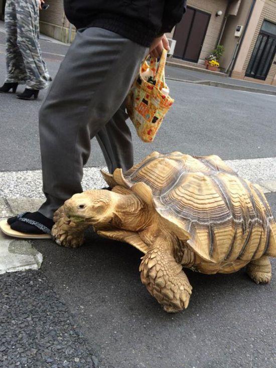 Tartaruga gigante de estimação andando pelas ruas de Tóquio (2)