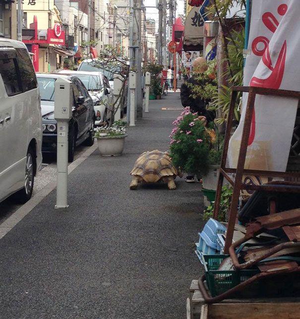 Tartaruga gigante de estimação andando pelas ruas de Tóquio (4)