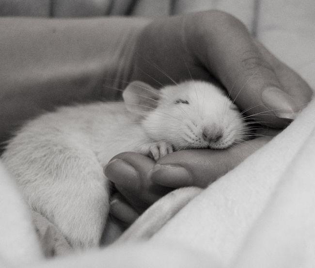 ratinho-de-estimação (10)