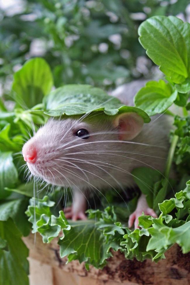 ratinho-de-estimação (14)