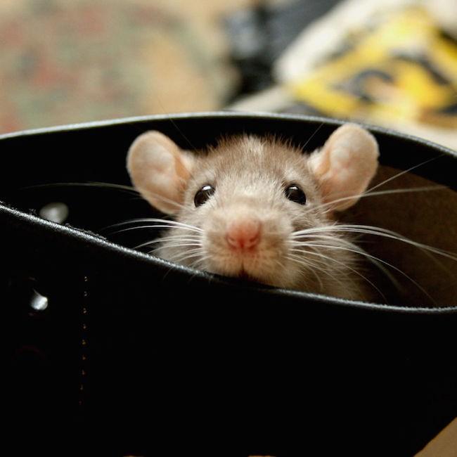 ratinho-de-estimação (15)