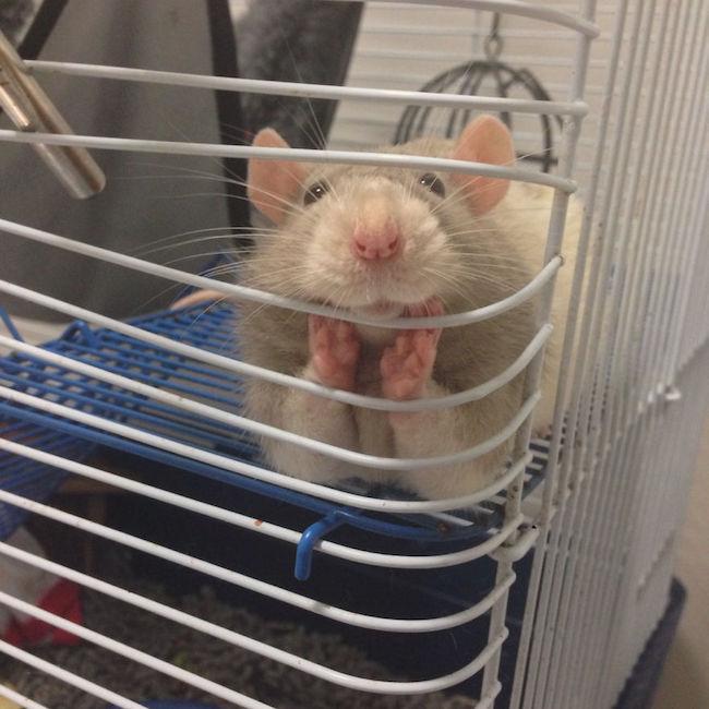 ratinho-de-estimação (16)