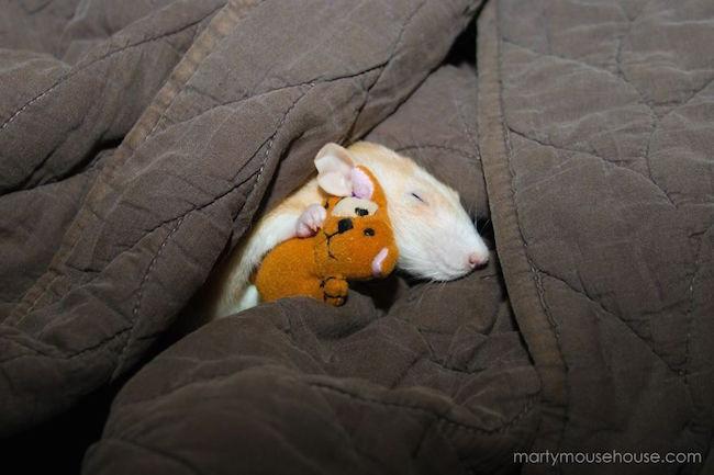 ratinho-de-estimação (17)