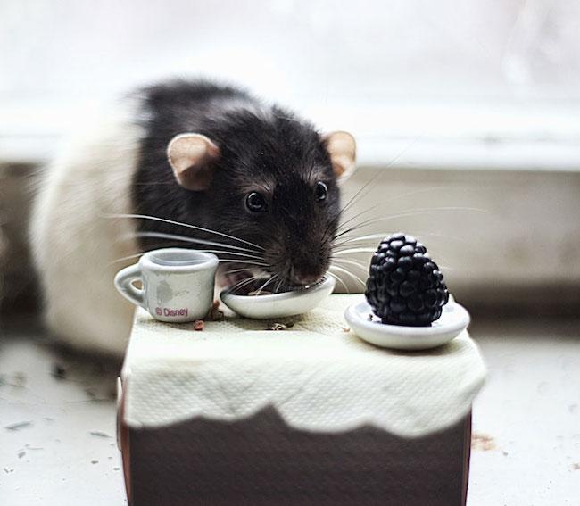 ratinho-de-estimação (18)