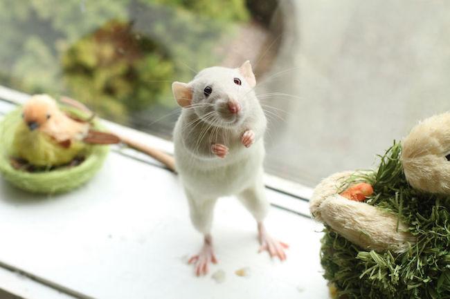 ratinho-de-estimação (19)