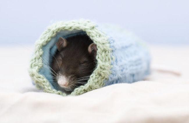 ratinho-de-estimação (20)