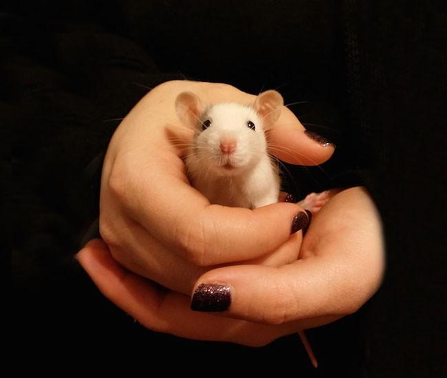 ratinho-de-estimação (23)