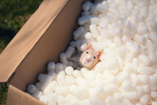 ratinho-de-estimação (24)
