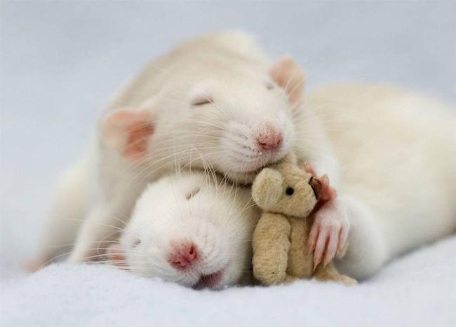 ratinho-de-estimação (3)