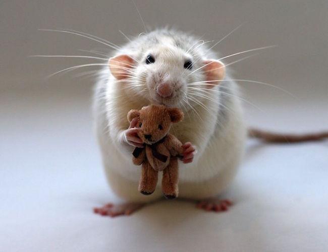 ratinho-de-estimação (6)