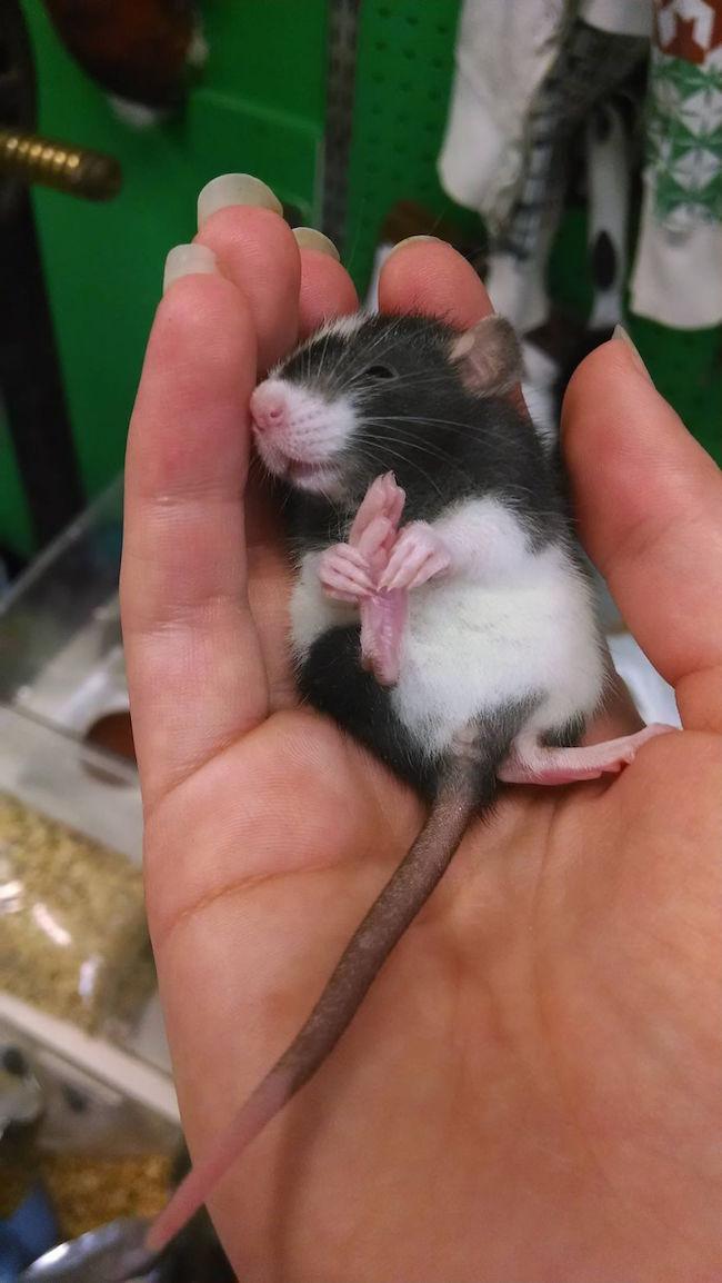 ratinho-de-estimação (7)