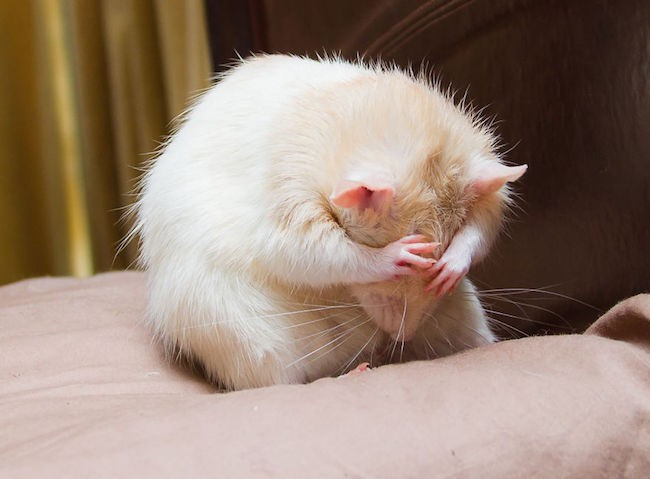 ratinho-de-estimação (8)
