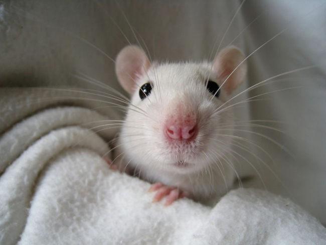 ratinho-de-estimação (9)
