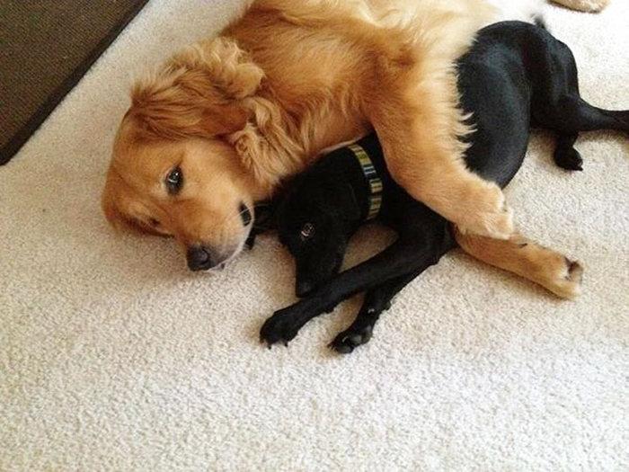 Amizade-entre-cães-Cachorros-que-são-amigos-inseparáveis (13)