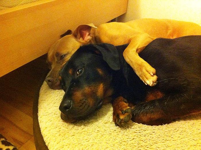 Amizade-entre-cães-Cachorros-que-são-amigos-inseparáveis (15)
