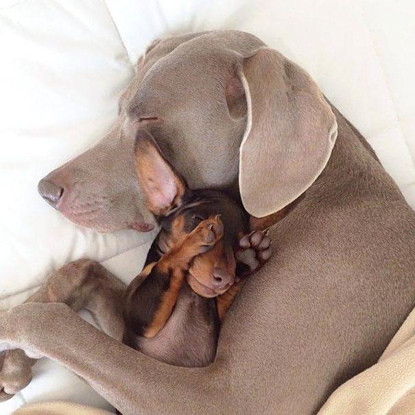 Amizade-entre-cães-Cachorros-que-são-amigos-inseparáveis (3)