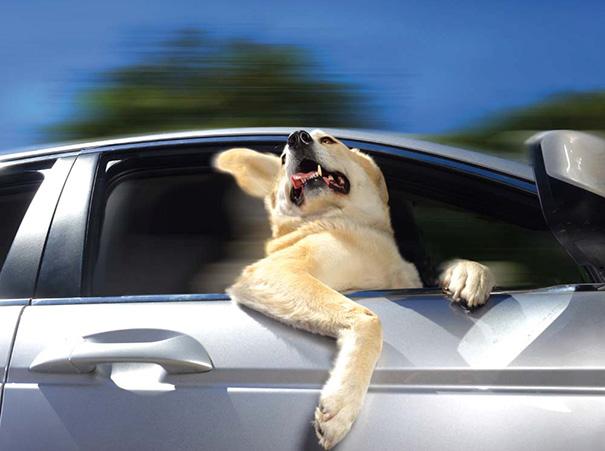 Cães engraçados que amam passear de carro (11)