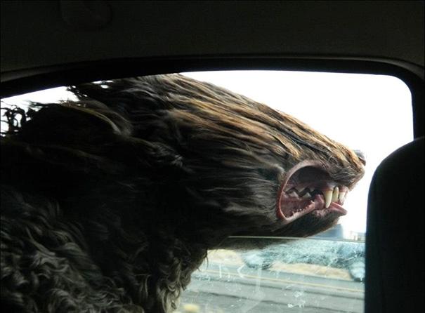 Cães engraçados que amam passear de carro (13)