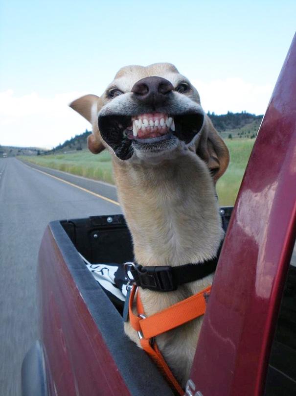 Cães engraçados que amam passear de carro (2)