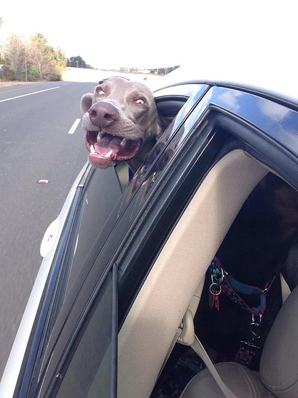 Cães engraçados que amam passear de carro (4)