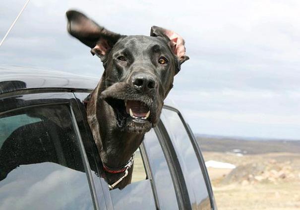 Cães engraçados que amam passear de carro (5)