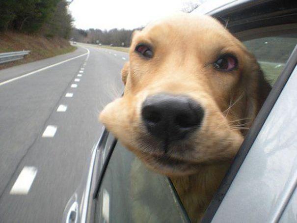 Cães engraçados que amam passear de carro