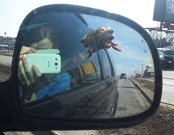 Cães engraçados que amam passear de carro (9)