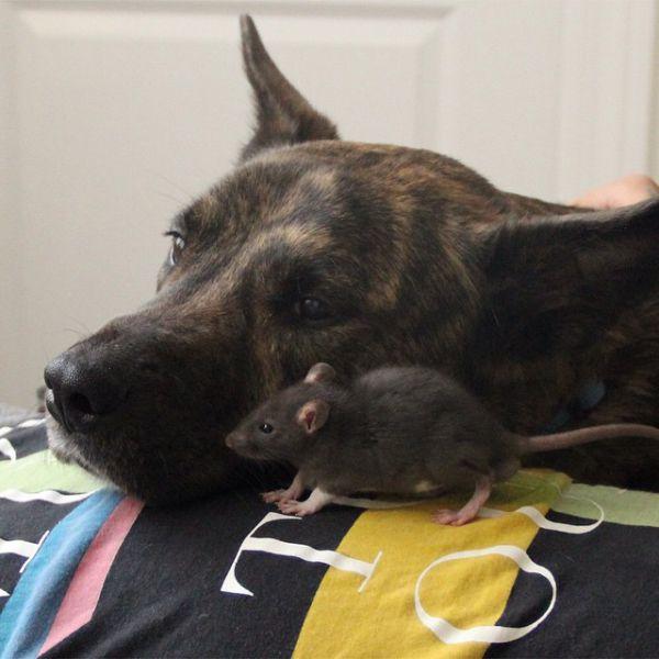 Cão-e-ratinho-se-tornam-melhores-amigos (13)