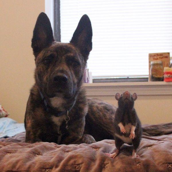 Cão-e-ratinho-se-tornam-melhores-amigos (4)