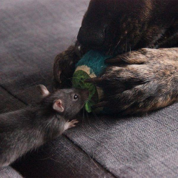 Cão-e-ratinho-se-tornam-melhores-amigos (6)