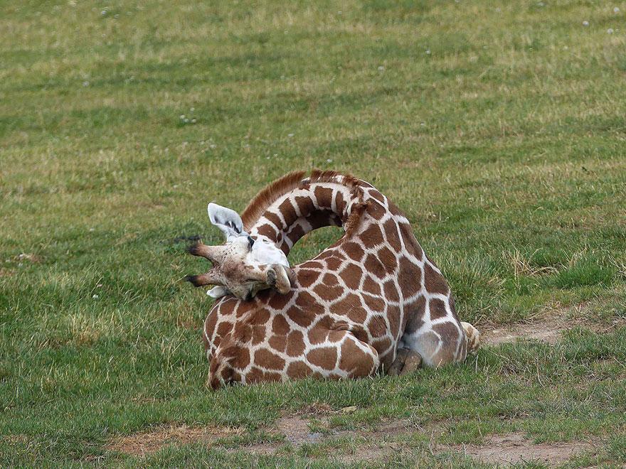 Como as girafas dormem?