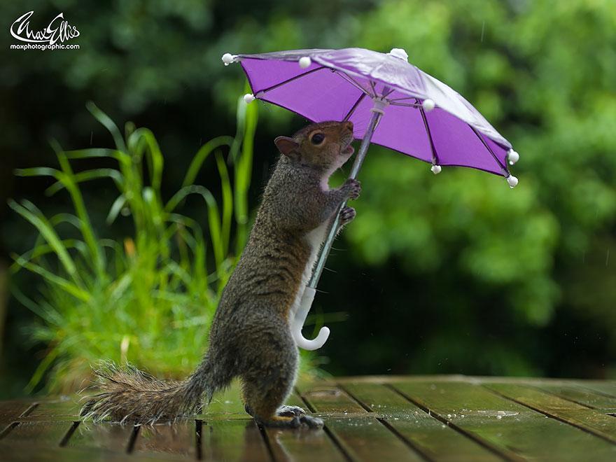 Esquilo ganha um sombrinha minúscula para se proteger da chuva  (1)