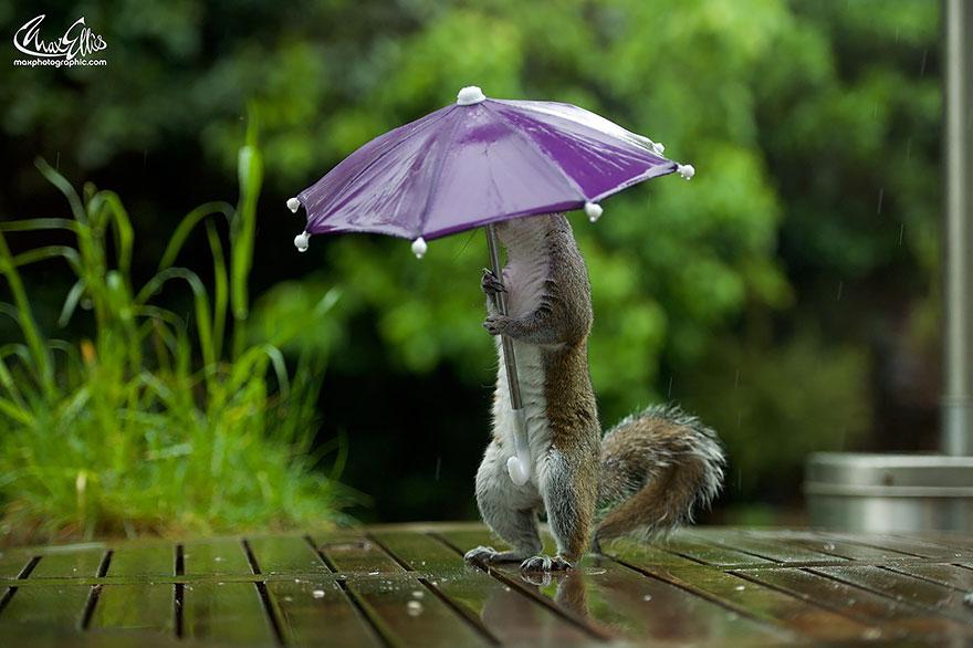 Esquilo ganha um sombrinha minúscula para se proteger da chuva  (3)