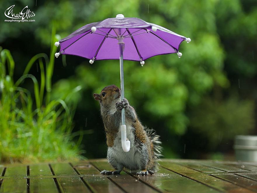 Esquilo ganha uma sombrinha minúscula para se proteger da chuva