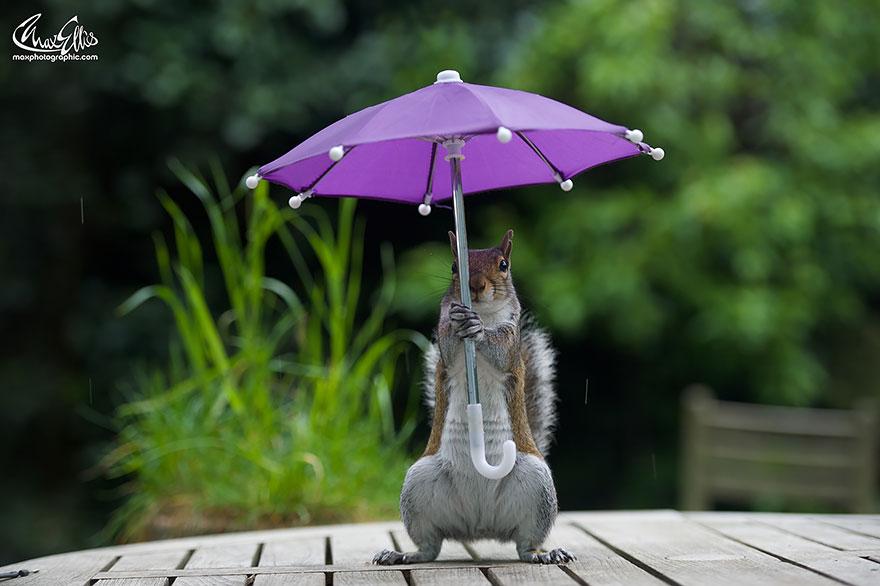 Esquilo ganha um sombrinha minúscula para se proteger da chuva  (5)